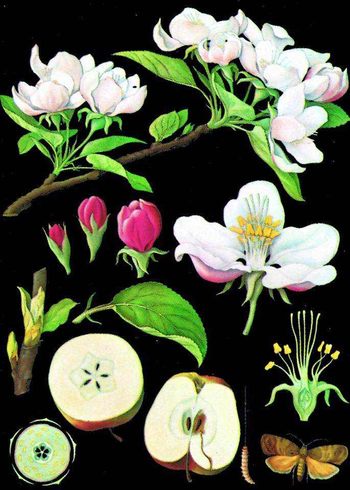 Canvasposter 85x120 – Äppelblom