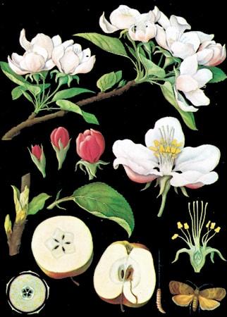 Bild av Ritz Deco Canvasposter 85x120 – Äppelblom