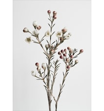 Honeywort poster - 50x70