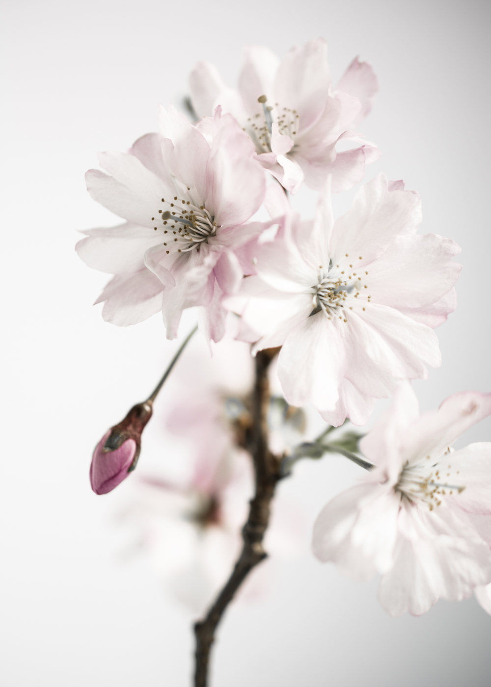 Ancient blossom no.3 poster – 50x70