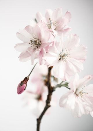 Ancient blossom no.3 poster – 50x70