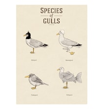 Species of gulls vol.2 A3