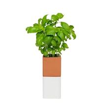 Evergreen Kryddkruka